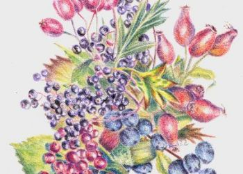 Autumn Fruits, coloured pencil, Sarah Colgate ©