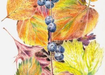 Autumn Leaves, coloured pencil, Sarah Colgate ©