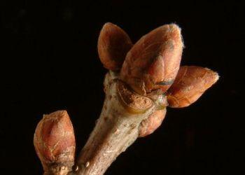 Oak buds, Stuart Colgate ©